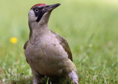 Groene specht -  Green Woodpecker 15/06/2013.