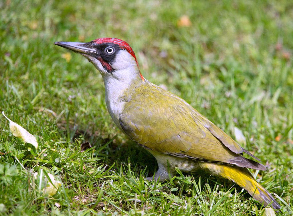 Groene specht, Green Woodpecker