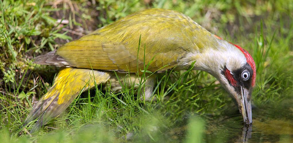 Groene specht, Green Woodpeckern, drinken, drinking