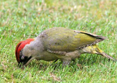 Groene specht -  Green Woodpecker 16/06/2007.