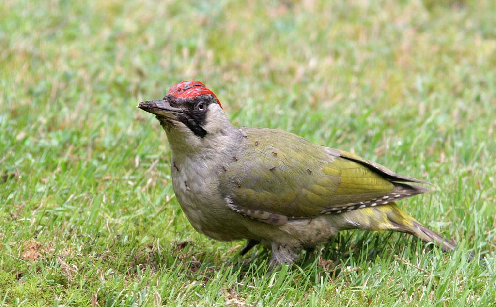 Groene specht, Green Woodpecker, mieren, ants