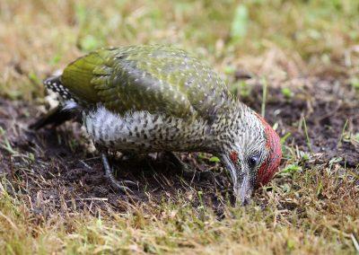 Groene specht  -  Green Woodpecker 13/07/2016.