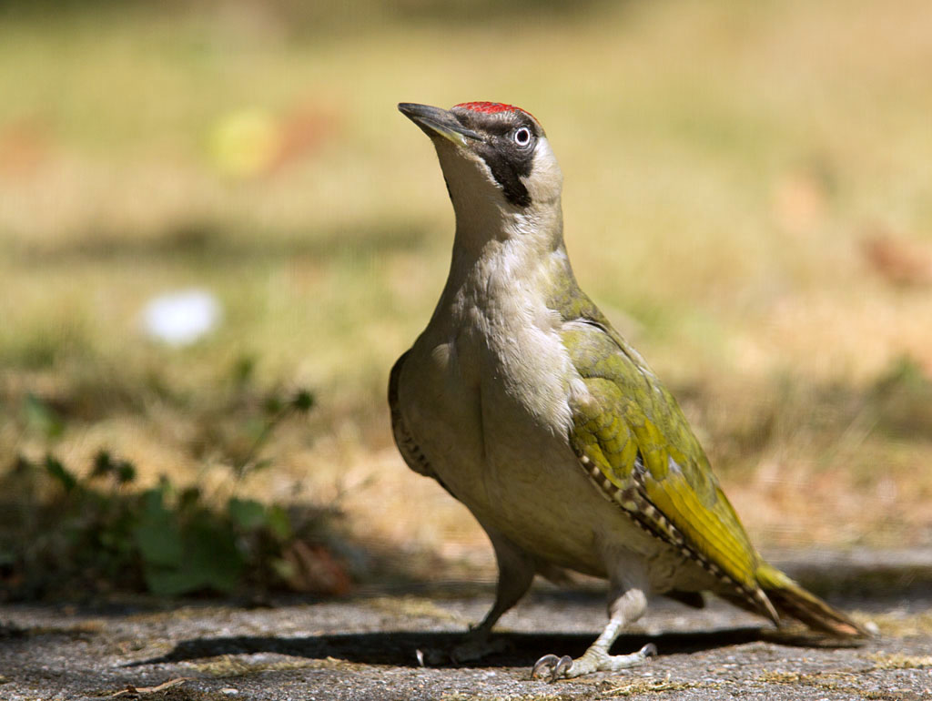 Groene specht, Green Woodpecker, poseren, posing