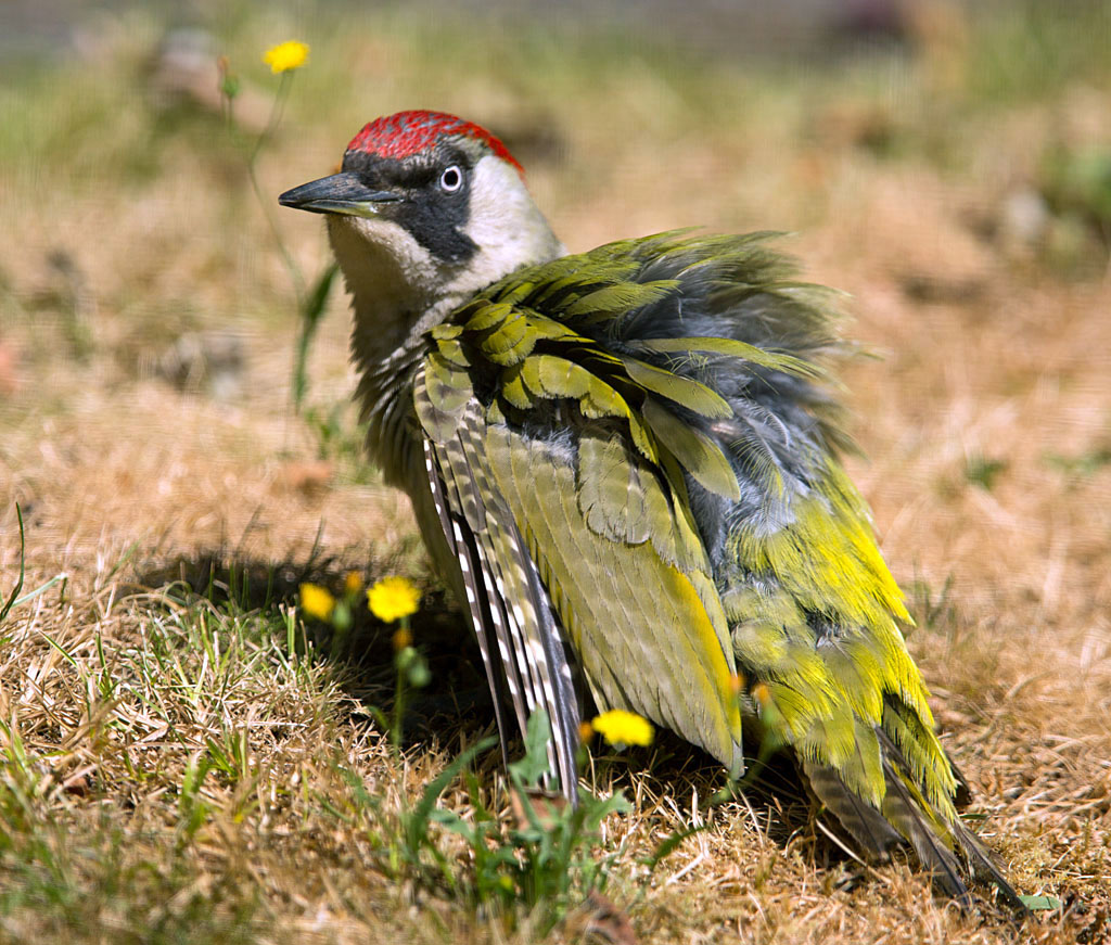 Groene specht, Green Woodpecker, poetsen, preening