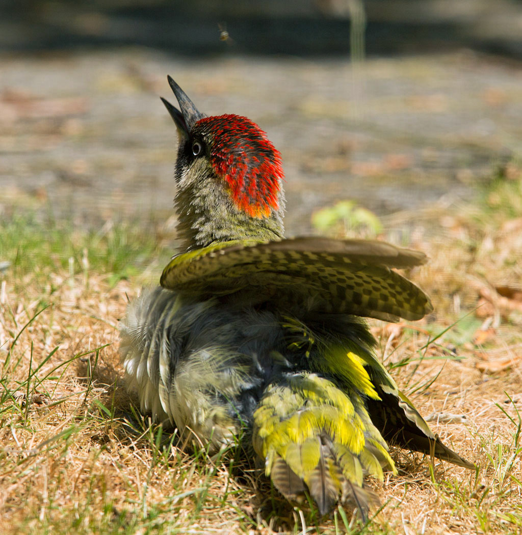Groene specht, Green Woodpecker, zonnen, sunbathing