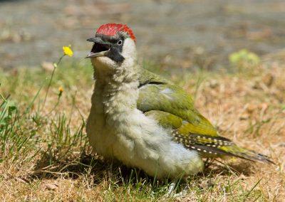 Groene specht  -  Green Woodpecker 13/07/18.