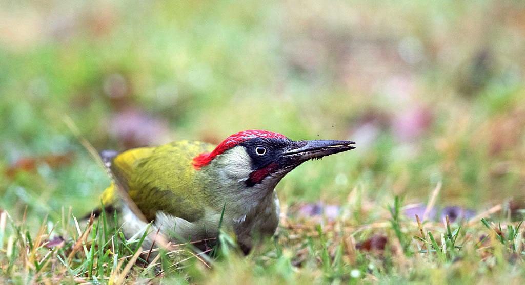 Groene specht, Green Woodpecker, foerageren, foraging, hunting, mieren, ants