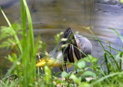 Grote gele kwikstaart  -  Grey Wagtail 19/09/12.