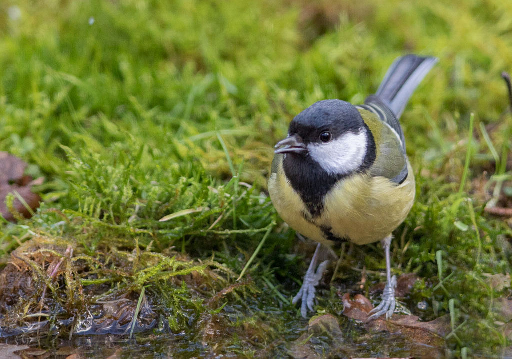 Koolmees - Great Tit 18/01/2018.