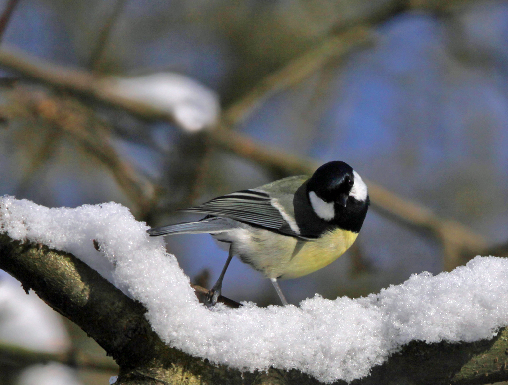 Koolmees - Great Tit 5/02/2012.