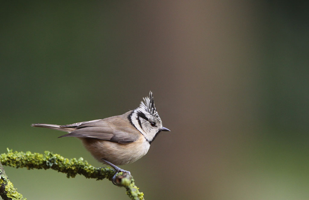 Kuifmees  -  Crested Tit 5/01/2012.