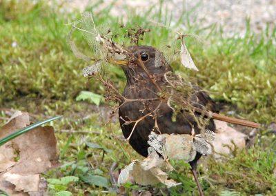 Merel, Blackbird, nestelen, nesting
