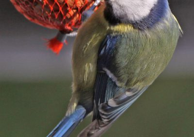 Pimpelmees, Blue Tit, foerageren, foraging, pinda, peanut