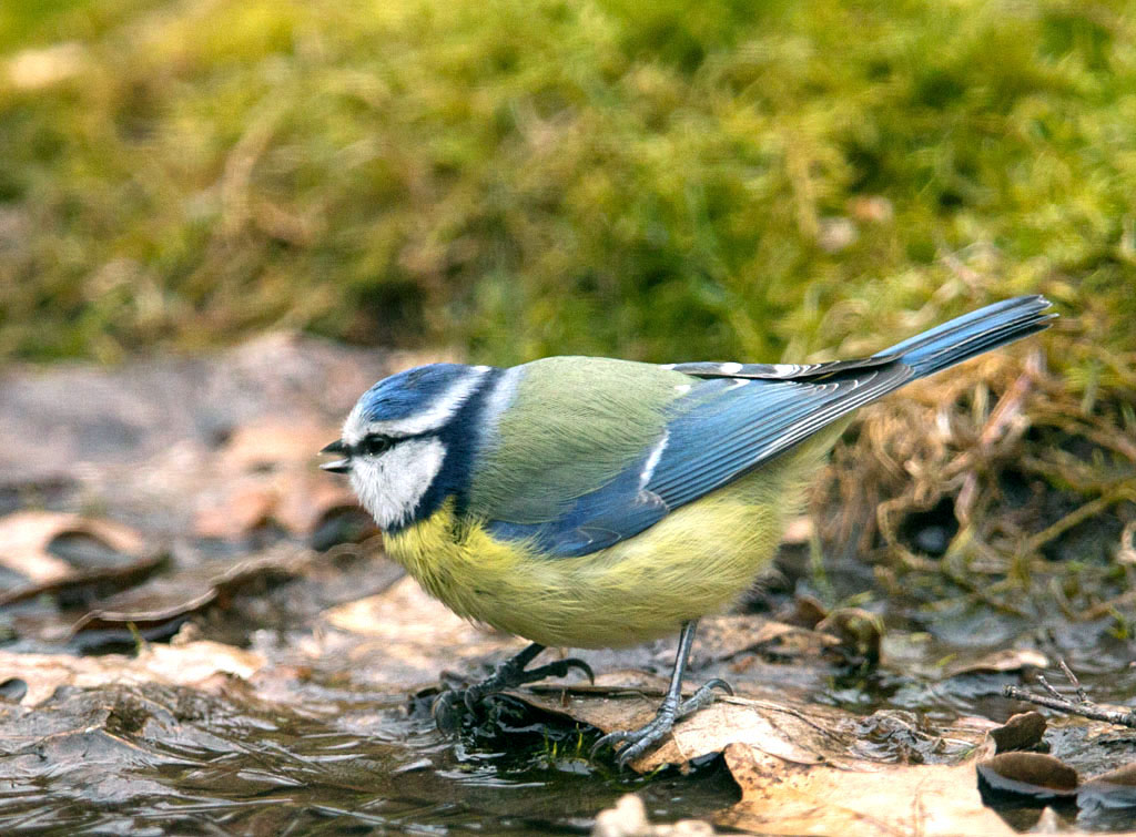 Pimpelmees  -  Blue Tit 2/03/2018.