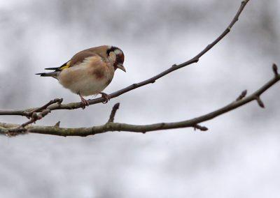 Putter  -  Goldfinch 3/03/2012.