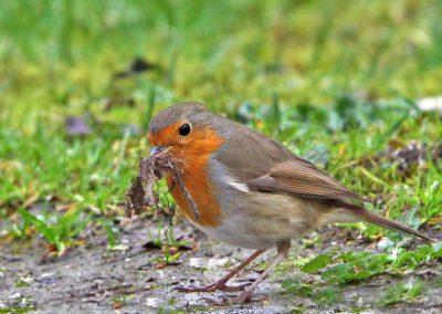 Roodborst , Robin, nestelen, nesting