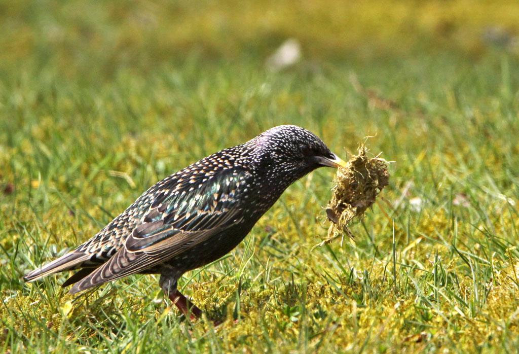 Spreeuw, Starling, foerageren, foraging