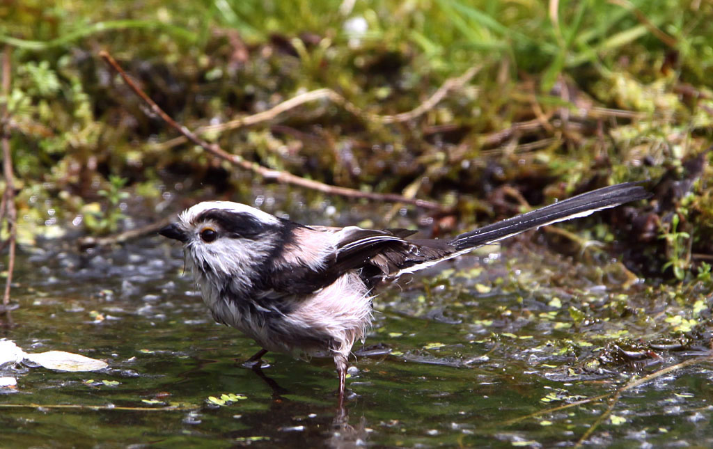 Staartmees, Long-tailed Tit, baden, bathing
