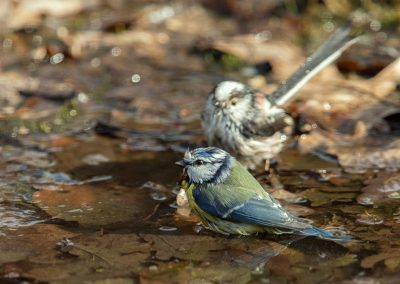 Pimpelmees, Blue Tit, Staartmees, Longtailed-Tit baden, bathing