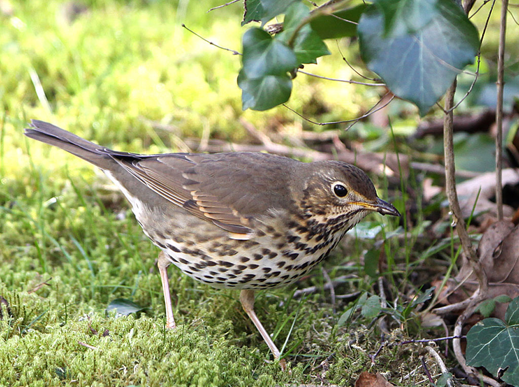 Zanglijster  -  Song Thrush 16/02/2014.