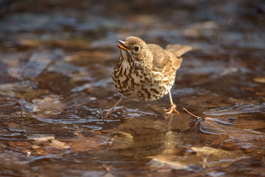 Zanglijster -  Song Thrush 24/02/2018.