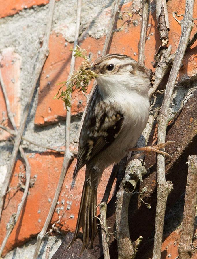 Boomkruiper, Treecreeper, nestelen, nesting