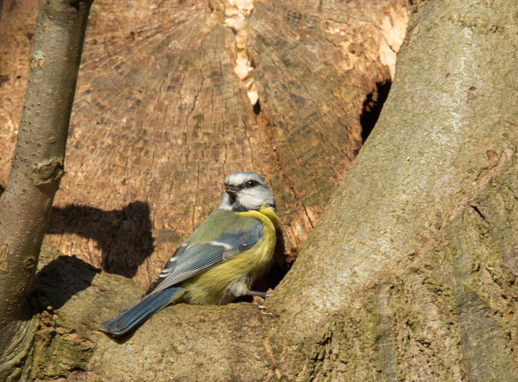Pimpelmees, Blue Tit, nestelen, nesting