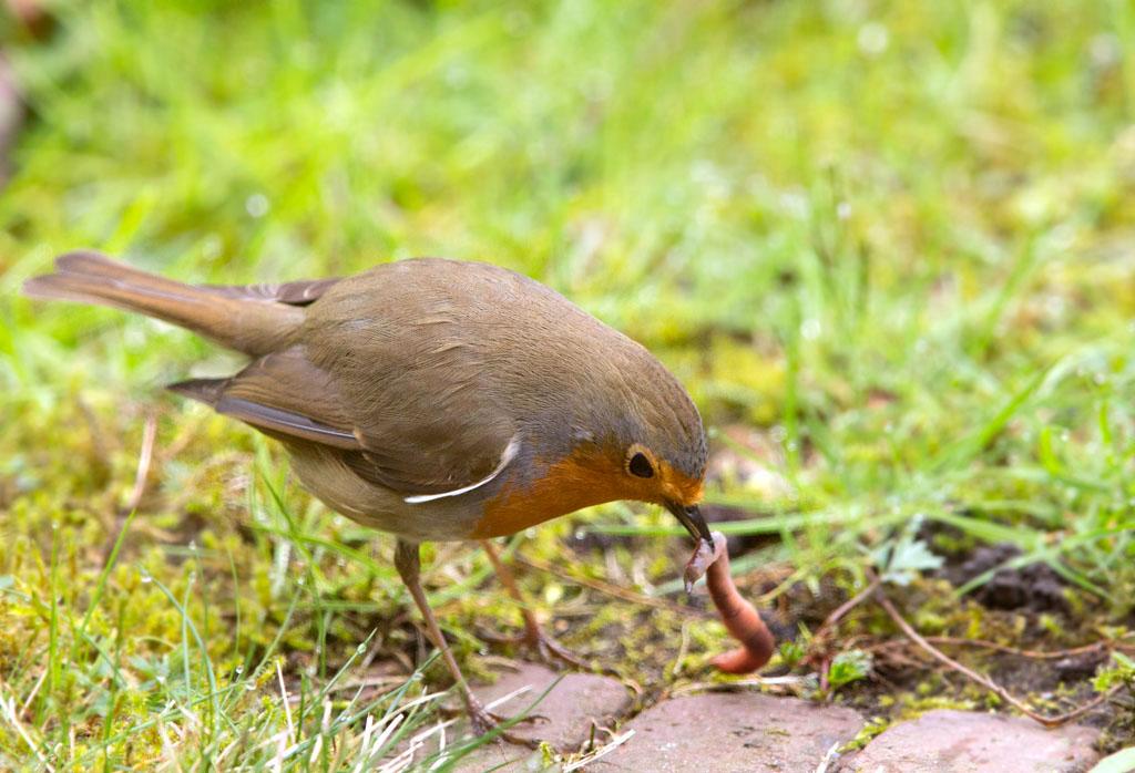 Roodborst, Robin, regenworm, earthworm