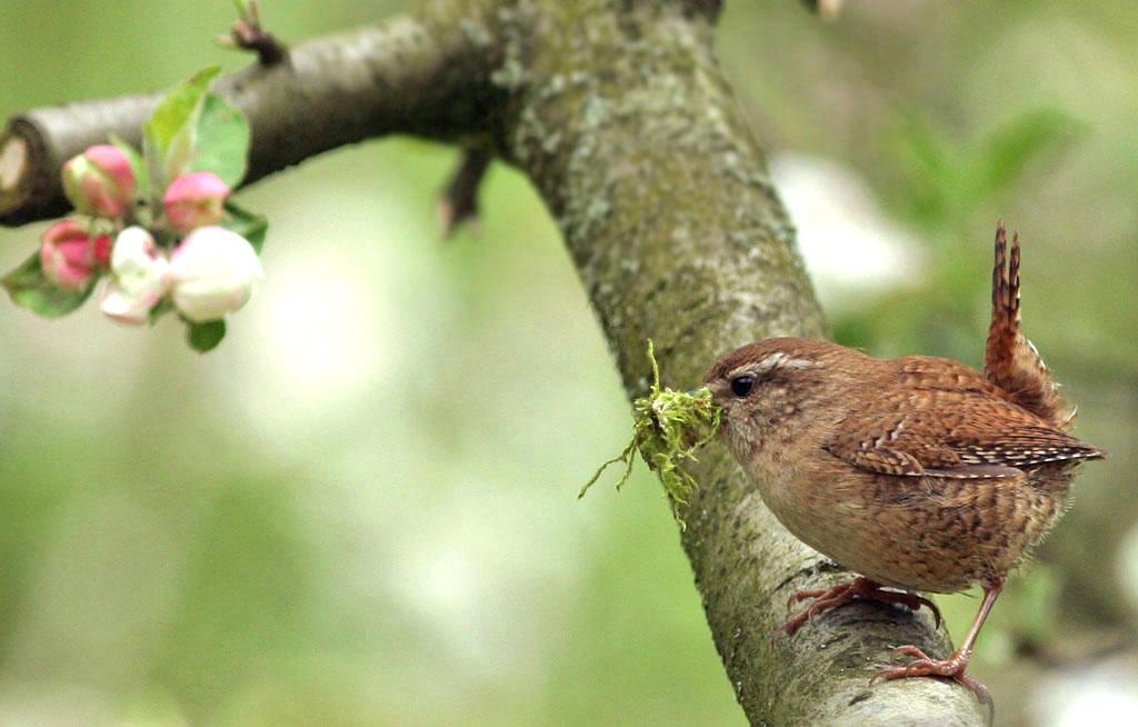 Winterkoning, Wren, nestelen, nesting