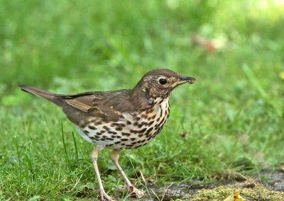 Zanglijster  -  Song Thrush  31/05/2017.