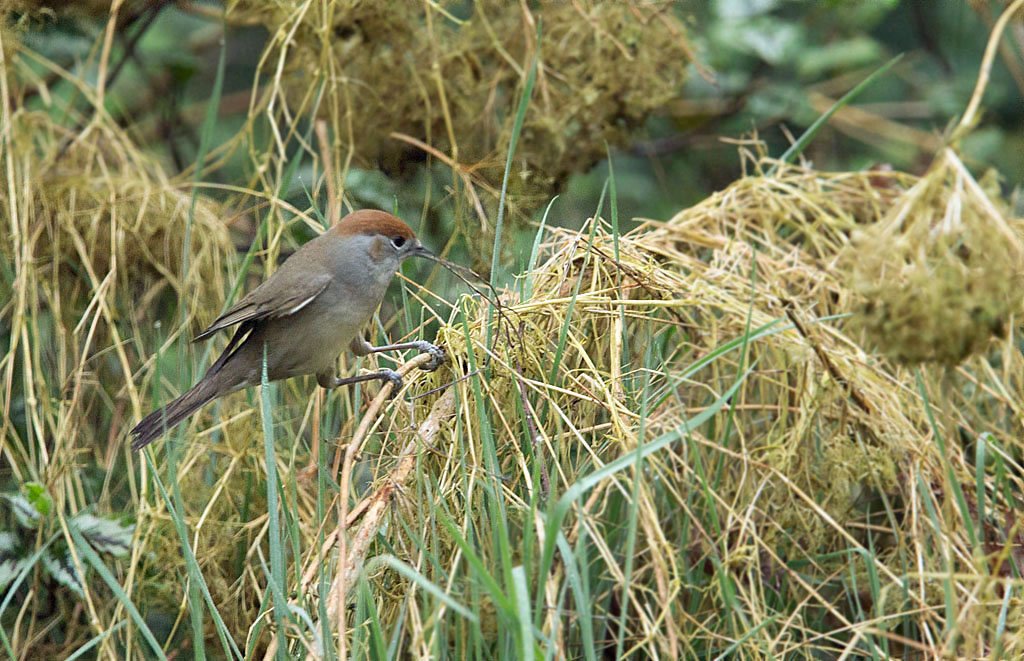 Zwartkop, Blackcap, nestelen, nesting