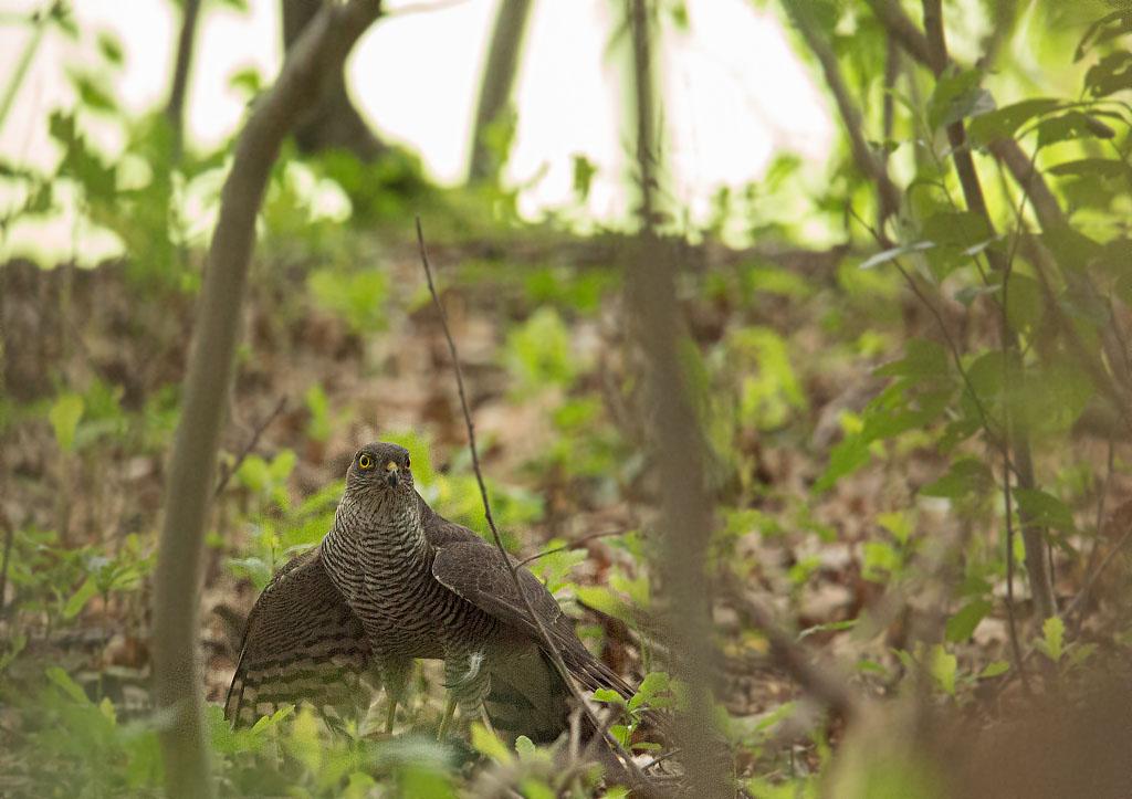 Sperwer, Sparrowhawk, grote bonte specht, great spotted woodpecker