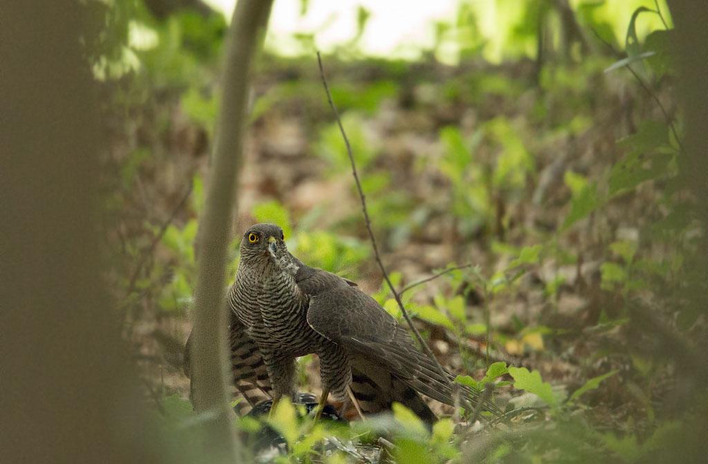 Sperwer, Sparrowhawk, great spotted woodpecker, grote bonte specht
