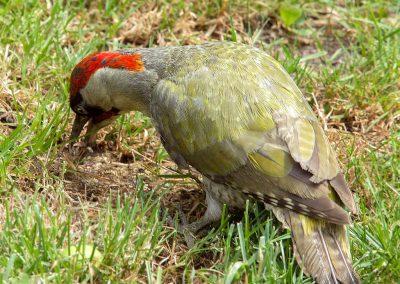 Groene specht  -  Green Woodpecker 10/07/2019.