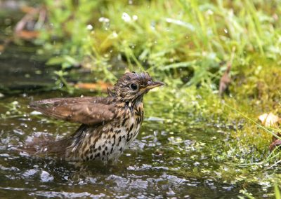 Zanglijster  -  Song Thrush 9/06/2017.
