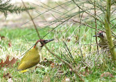 Groene specht - Green Woodpecker 28/01/2018. Imponeergedrag 2 mannetjes: links - rechts buigen, borst vooruit, neus aan neus. Territoriumoverlapping of vader die zoon de deur uitzet?