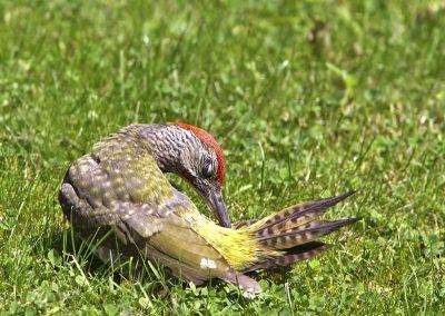 Groene specht  - Green woodpecker 19/07/2012