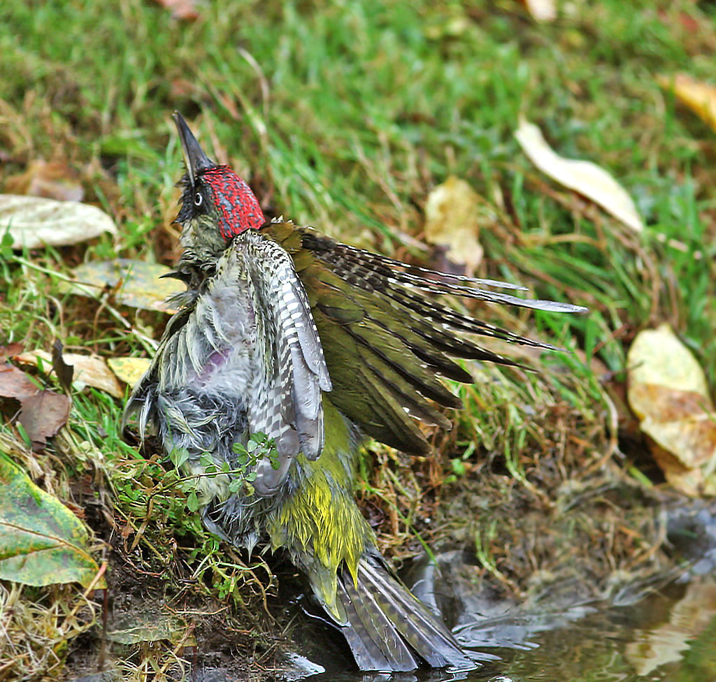 Groene specht -  Green Woodpecker 4/11/2007.