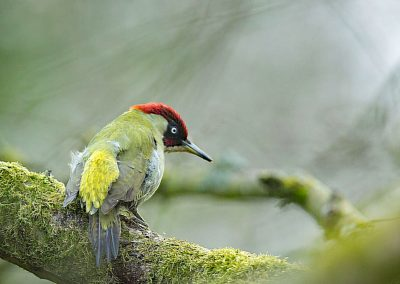 Groene specht  -  Green woodpecker 27/03/2019