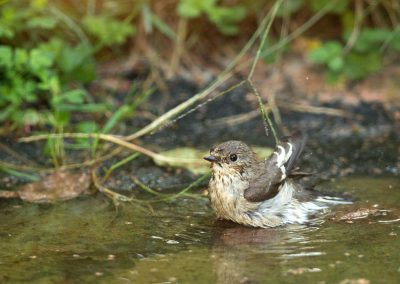 Bonte vliegenvanger, Pied Flycatcher, baden, bathing