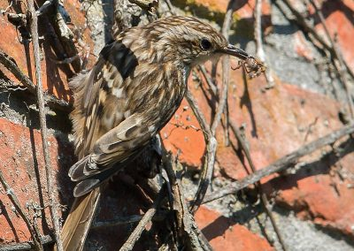 Boomkruiper, Treecreeper, spin, spider, insecten, insects, azen, feeding