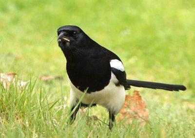 Ekster, Magpie, langpootmug, crane fly, azen, feeding