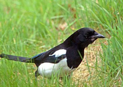 Ekster, Magpie, langpootmug, emelten, crane fly, azen, feeding