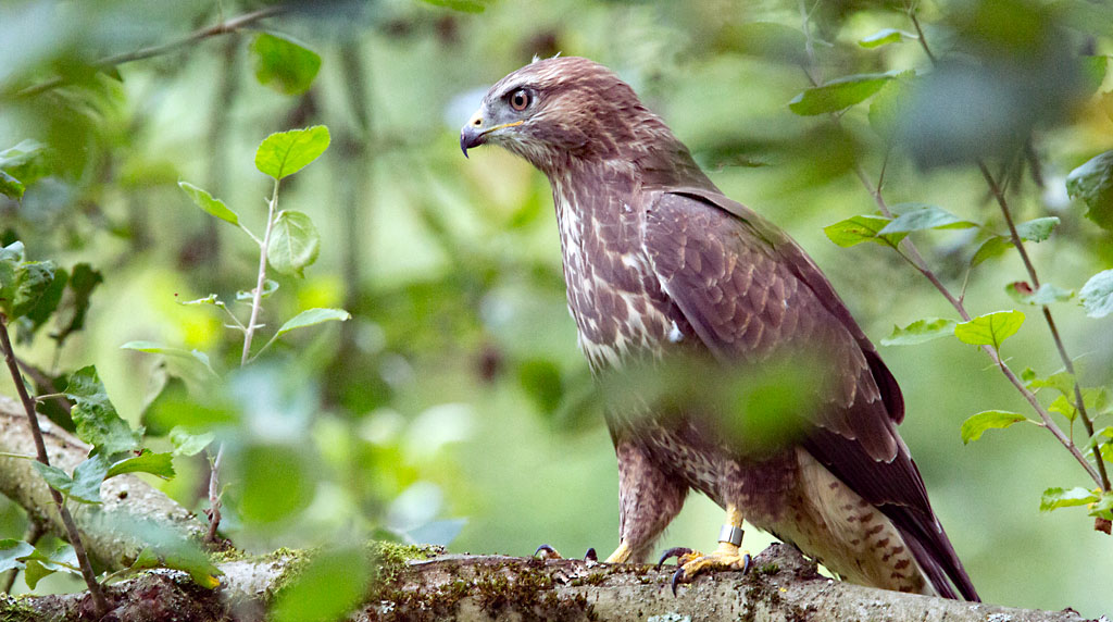 Buizerd, Buzzard, ring