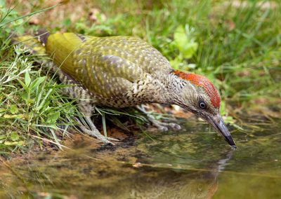 Groene specht, Green Woodpecker, drinken, drinking, juveniel, juvenile
