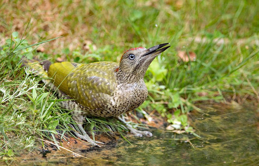 Groene specht -  Green Woodpecker 31/07/2018.