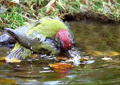 Groene specht, Green woodpecker, baden, bathing, poetsen, preening
