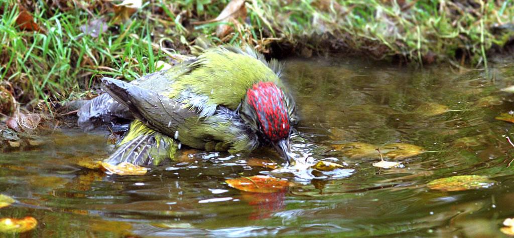 Groene specht  -  Green woodpecker  4/11/2007
