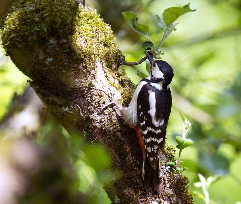 Grote bonte specht,Great Spotted Woodpecker