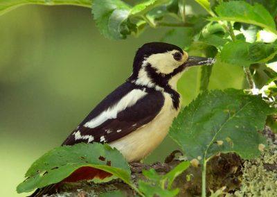 Grote bonte specht, Great Spotted Woodpecker, insecten, insects, azen, feeding